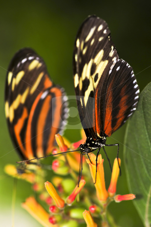 Large tiger butterflies stock photo, Two large tiger butterflies sitting on a flower by Elena Elisseeva