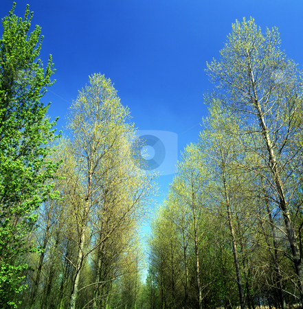 Spring fresh stock photo, Fresh new green leaves on trees in Springtime, with bright blue sky by Paul Phillips