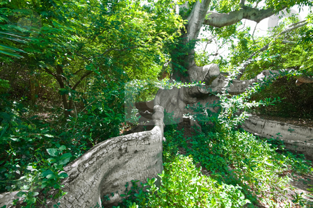 Ancient kapok tree stock photo, Very old kapok tree with mystery roots and branches by Karin Claus