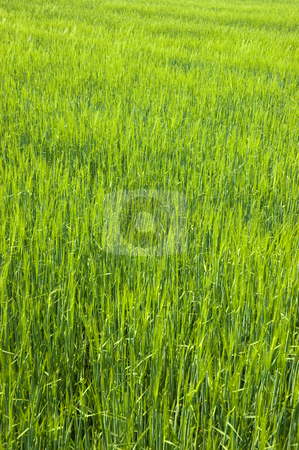 Lush Green Field stock photo, Lush green field of long grass by Peter Cox