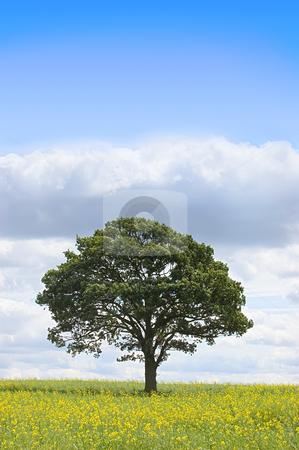 Summer landscape stock photo, Summer landscape - single tree beneath a blue sky in a field of rapeseed by Peter Cox