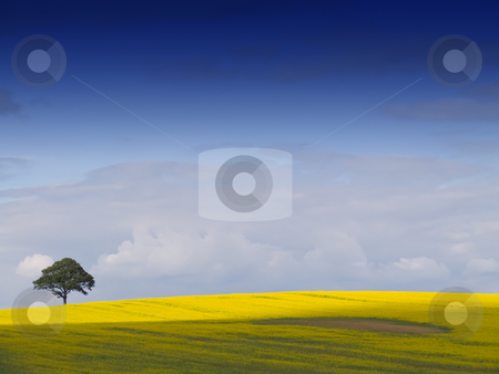 Rural English Landscape stock photo, Looking over a rural english landscape of yellow rapeseed, to a tree on the horizon, beneath a dramatic blue sky with fluffy white clouds. An ideal desktop wallpaper or background. by Peter Cox