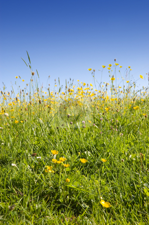 Summer Meadow of Buttercups and Grasses stock photo, Summer meadow of yellow buttercups and grasses by Peter Cox