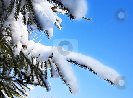 Snow on a Pine Tree stock photo, Snow on the branches of a pine tree against a clear blue sky by Peter Cox