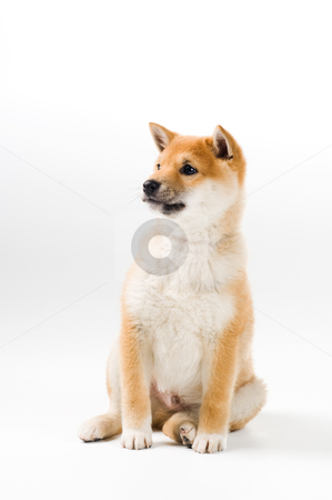Aiko stock photo, Cute Shiba Inu puppy on white background by Tommy Maenhout