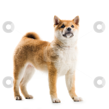 Aiko stock photo, Cute Shiba Inu puppy on a white background by Tommy Maenhout
