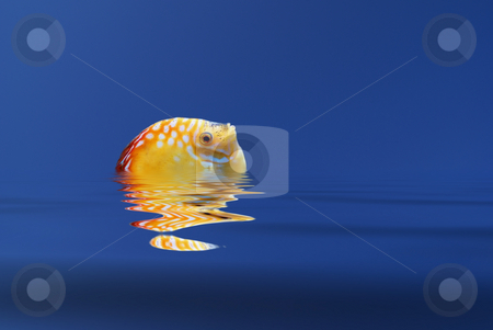 Fish stock photo, Illustration of a tropical fish emerging from calm water by Serge VILLA