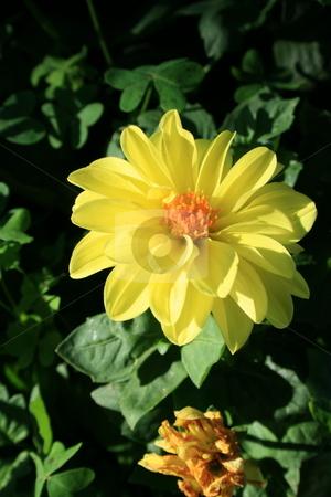 Yellow Dahlia Flower stock photo,  by Michael Felix