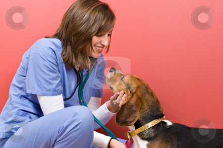 Vet Checkup stock photo, A veterinarian checking out a beagle dog. by Todd Arena