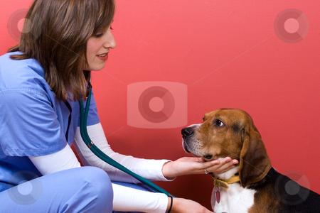 Vet Checkup stock photo, A veterinarian checking out a beagle dog. by Todd Arena
