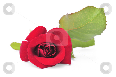 Red rose flower on white background stock photo, Macro of red rose flower isolated on white background by Elena Elisseeva