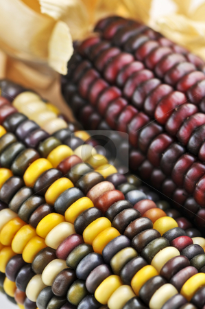 Indian corn stock photo, Two cobs of indian corn close up by Elena Elisseeva