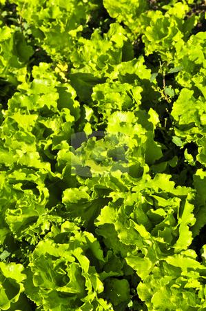 Lettuces growing in a garden stock photo, Rows of green lettuces growing in a vegetable garden by Elena Elisseeva