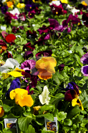 Pansies for sale stock photo, Pansies for sale for planting in spring by Elena Elisseeva