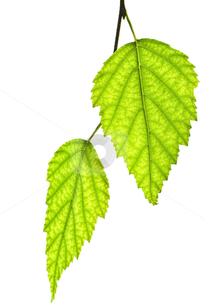 Branch with green leaves stock photo, Tree branch with green leaves isolated on white background by Elena Elisseeva