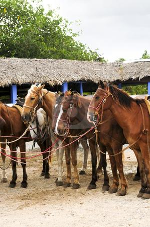 Horses gathered at beach stock photo, Horses ready to be ridden at Caribbean beach by Elena Elisseeva