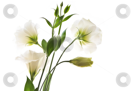 Isolated white flowers stock photo, Flowers called prairie rose isolated on white background by Elena Elisseeva