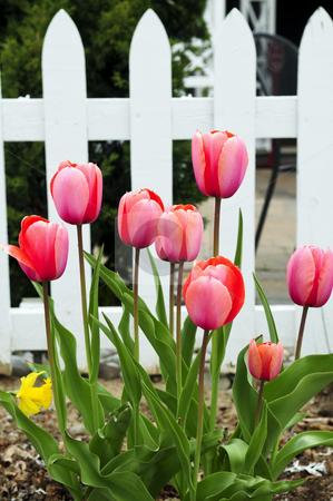 Tulips in spring garden stock photo, Bright blooming tulips growing in spring garden by Elena Elisseeva