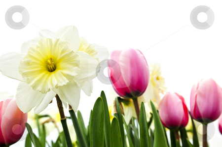Tulips and daffodils on white background stock photo, Tulips and daffodils isolated on white background, floral border by Elena Elisseeva