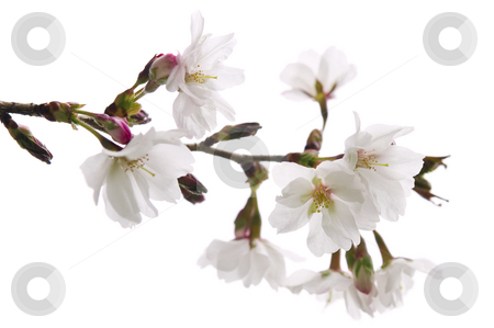 Oriental cherry blossom stock photo, Branch of oriental flowering cherry with blossoms isolated on white background by Elena Elisseeva