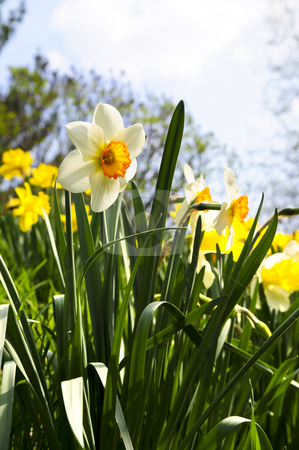 Blooming daffodils in spring park stock photo, Field of blooming daffodils in spring park by Elena Elisseeva
