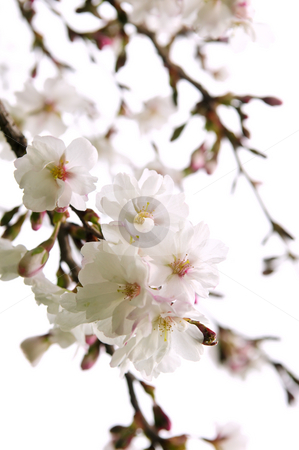 Oriental cherry blossom stock photo, Branches of oriental flowering cherry with blossoms isolated on white background by Elena Elisseeva