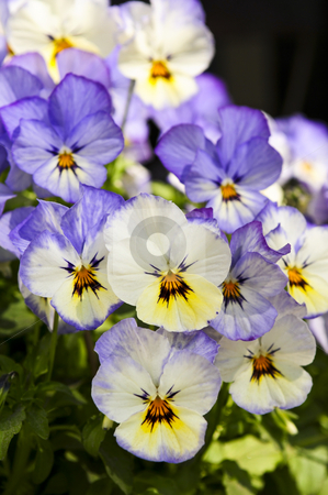 Pansies stock photo, Blooming purple and yellow pansy flowers close up by Elena Elisseeva