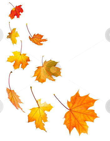 Fall maple leaves background stock photo, Background of fall maple leaves isolated on white by Elena Elisseeva