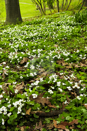 Spring flowers near creek stock photo, White canada violets blooming in a spring park by Elena Elisseeva