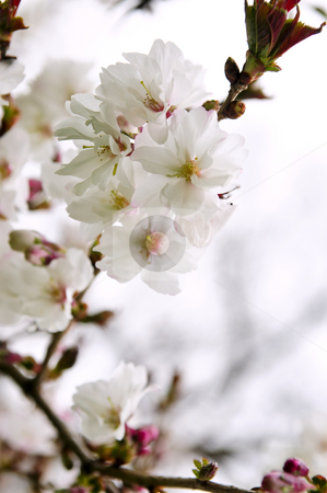 Oriental cherry blossom stock photo, Branches of oriental flowering cherry with blossoms in spring by Elena Elisseeva
