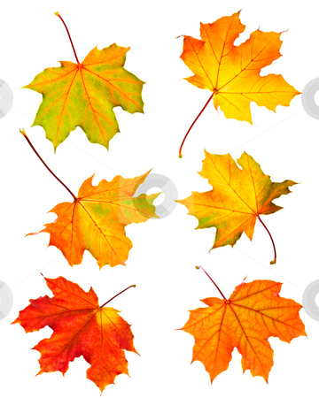Fall maple leaves stock photo, Several fall maple leaves isolated on white background by Elena Elisseeva
