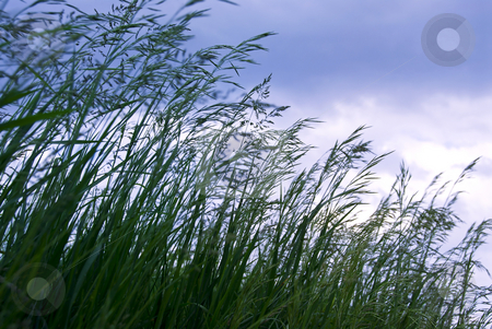 Grass with seeds stock photo, Seeding tall green grass closeup against foreboding sky by Elena Elisseeva