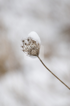 Snowy vegetation stock photo, A burr covered with snow in a dreamy winter landscape by Alexander L?