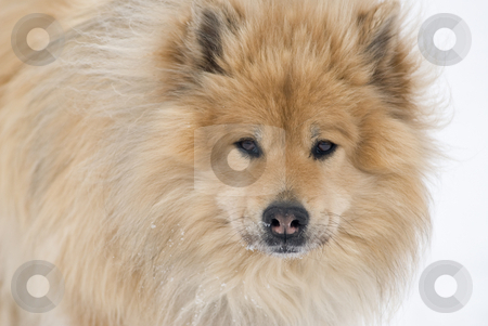 Looking at you stock photo, A brown eurasier dog looking right into the camera on a snowy background by Alexander L?