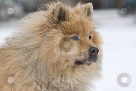Advertent dog stock photo, A brown eurasier dog looking mindful and worried at something distant in a snowy background by Alexander L?