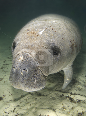 Manatee Portrait Above stock photo, An endangered Florida manatee (Trichechus manatus latirostrus) rests underwater in the springs of Crystal River, Florida by A Cotton Photo