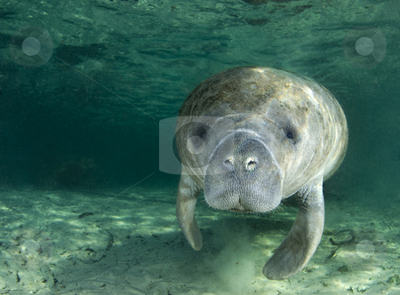 Manatee Portrait stock photo, A manatee (Trichechus manatus latirostrus) swims along underwater in the springs of Crystal River, Florida by A Cotton Photo