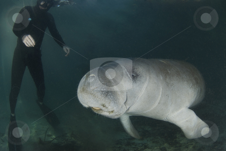 Manatee and Diver stock photo, A diver watches as a florida manatee (Trichechus manatus latirostrus) swims by in the springs of Crystal River, Florida by A Cotton Photo
