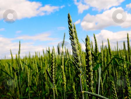 Oat field stock photo, Closeup of oat field by Magnus Johansson