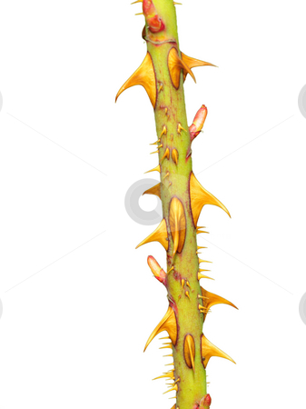 Thorns stock photo, Thorn on rosebush by Magnus Johansson