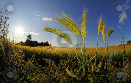 Wheat weed stock photo, Closeup of wheatplant in front of beautiful sunlit farmland by Magnus Johansson