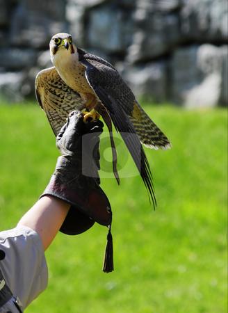 Bird in hand stock photo, A predator bird in hand of teacher by Magnus Johansson