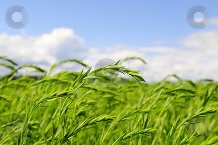 Green wheat stock photo, Closeup of wheat field by Magnus Johansson