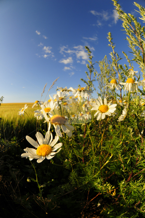 Wild daisy stock photo, Open landscape with wild daisies and blue sky by Magnus Johansson