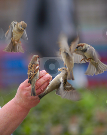 Public birds stock photo, Person feeding birds with bread by Magnus Johansson