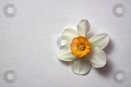 Narcissus stock photo, Spring with Narcissus cyclamineus by Manuela Schueler