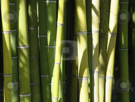 Bamboo Forest stock photo, Bamboo stalks in bright sunlight by mdphot