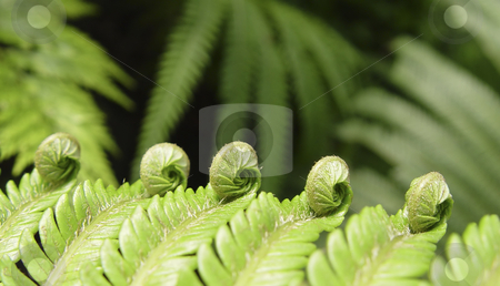 Ferns stock photo, Ferns, birth of a fern leaf by mdphot