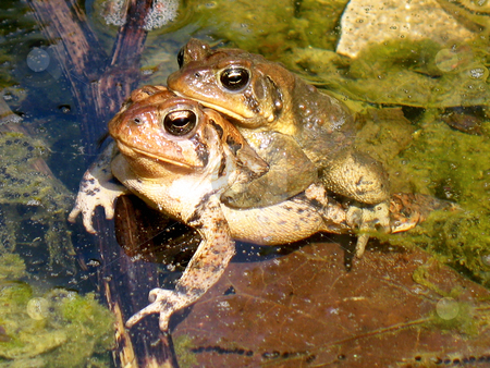 Frog Piggyback Ride stock photo, Outdoor shot of two frogs in pond.  One is piggybacking on top of the other one. by Orange Line Media