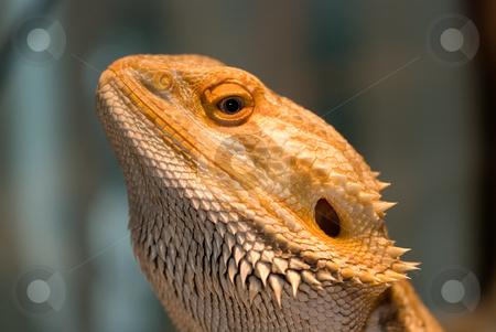 Bearded Dragon stock photo, Bearded dragon looking at the camera by Randy Miramontez